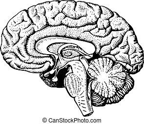 Human brain on white background