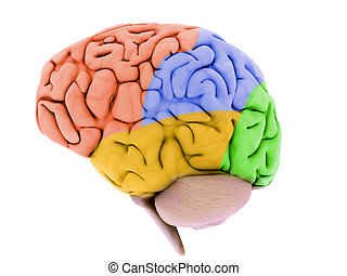 human brain parts - 3d rendered illustration from colorful...