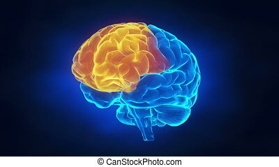 Human brain parts  - Human brain parts