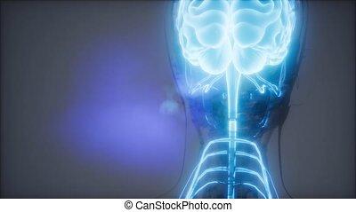 Human Brain Radiology Exam - science anatomy scan of human...