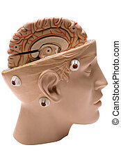 Human Brain Side View - Model of the human brain isolated on...