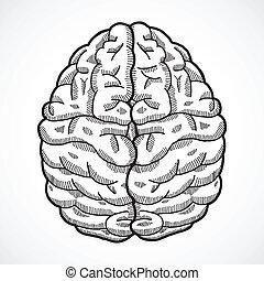 Human brain sketch - Human brain cortex top view sketch ...