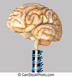 Human brain spine