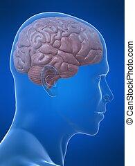human brain - 3d rendered illustration of a human head shape...
