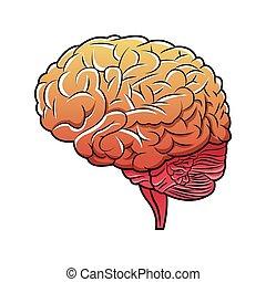 human brain structure image