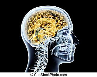Human Brain - The human Brain. 3D rendered illustration....