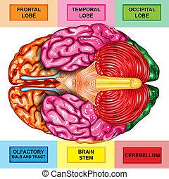 Human brain underside view - Illustration body part, human...