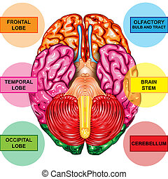 Human brain underside view - Illustration body part, human ...