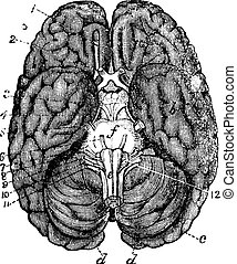 Human brain vintage engraving. Old engraved illustration of human brain parts numbered.
