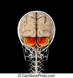 Human brain with highlighted cerebellum inside the body