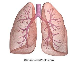 human bronchi - 3d rendered anatomy illustration of human ...