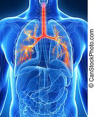 Human bronchi - 3d rendered illustration of the bronchi