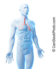 Human bronchi - 3d rendered illustration of the human ...
