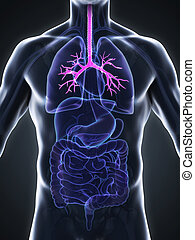 Human Bronchi Anatomy