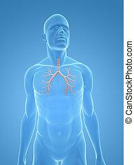 human bronchi