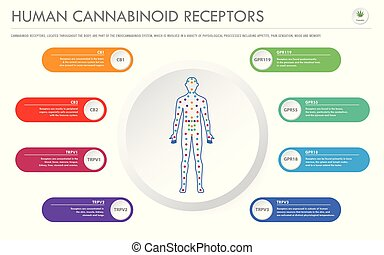 Human Cannabinoid Receptors - Endocannabinoid System horizontal business infographic illustration about cannabis as herbal alternative medicine and chemical therapy, healthcare and medical science vector.