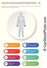 Human Cannabinoid Receptors vertical business infographic ...