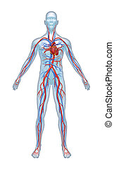 Human Cardiovascular System - Human Cardiovascular heart ...