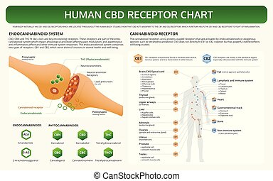 Human CBD Receptor Chart horizontal textbook infographic ...