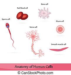 Human Cells - Anatomy of muscle, sperm, ovum, nerve, blood...