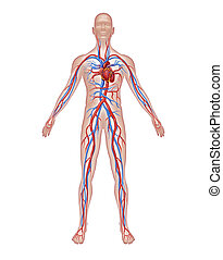 Human circulation anatomy and cardiovascular heart system with a healthy body isolated on white background as a medical health care symbol of an inner vascular organ as a medical hospital as a doctor chart symbol.