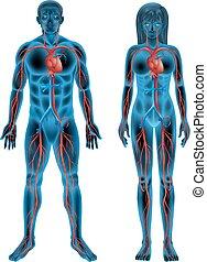 Human circulatory system - The human circulatory system