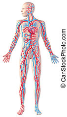 Human circulatory system, full figure, cutaway anatomy illustration, with clipping path included.