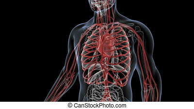 Human circulatory system with heartbeat. Heart highlighted