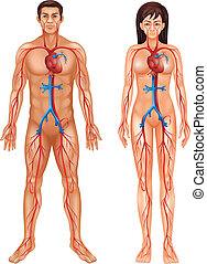 Human circulatory system - Illustration of the circulatory...