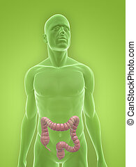 3d rendered illustration of a human body shape with colon