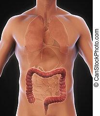 Human Colon Anatomy Illustration. 3D render