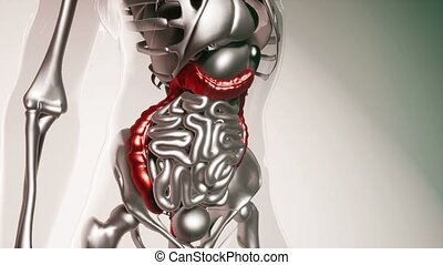 human colon model with all organs and bones - 4K medical...