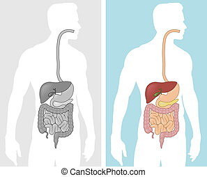 A diagram of the human digestive system in black and white and color.