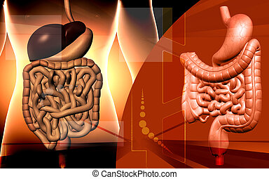 Human digestive system - Digital illustration of human ...