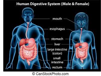Human digestive system - The human digestive system