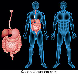 Human digestive system - Illustration of the human digestive...
