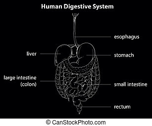 Human digestive system - Illustration showing the human ...