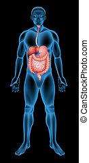 Human digestive system - Illustration of the human digestive...