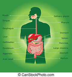 Human digestive system in vector - The human digestive...