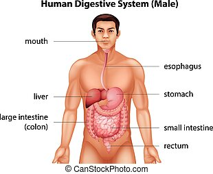 Human digestive system - The digestive system of human