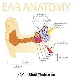 human ear anatomy vector illustration