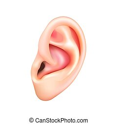 Human ear isolated on white vector - Human ear isolated on ...