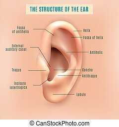 Outer external part of human ear structure picture and definitions medical anatomy educative background poster vector illustration