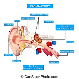 Human ear with names anatomy