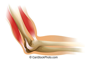 Human elbow - Illustration of the human elbow on a white...