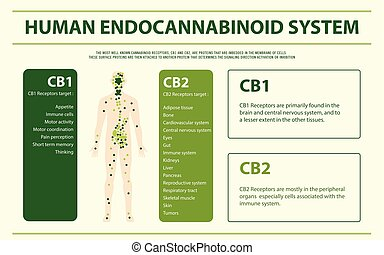 Human Endocannabinoid System horizontal infographic illustration about cannabis as herbal alternative medicine and chemical therapy, healthcare and medical science vector.