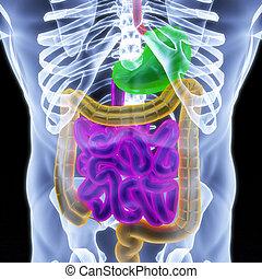 human entrails under X-rays. 3d render.