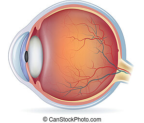 Human eye anatomy, detailed illustration. Isolated on a...