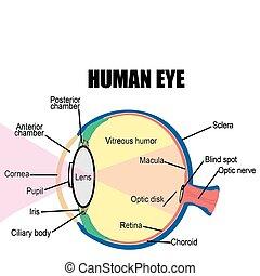 Anatomy of human eye, vector illustration (for basic medical education, for clinics & Schools)