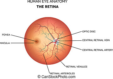 Human eye anatomy, retina, optic disc artery and vein etc. detailed illustration.